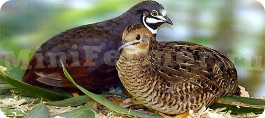 фото птицы перепел