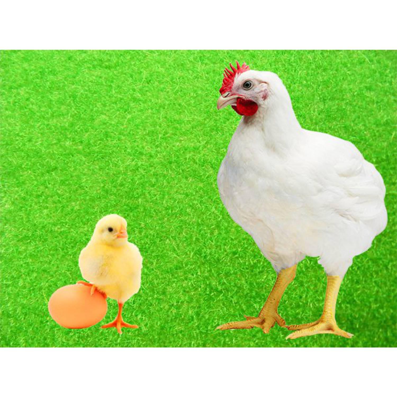 Купить инкубационное яйцо кобб 500